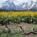 Flowers in The Tetons